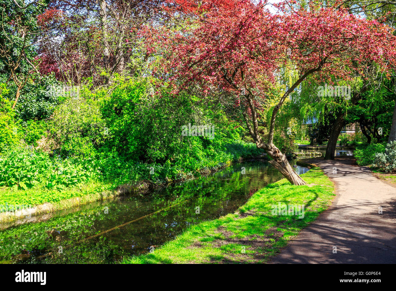 A tree with red leaves and other foliage in sunlight around the canal at the New River Walk, Canonbury, London - Stock Image