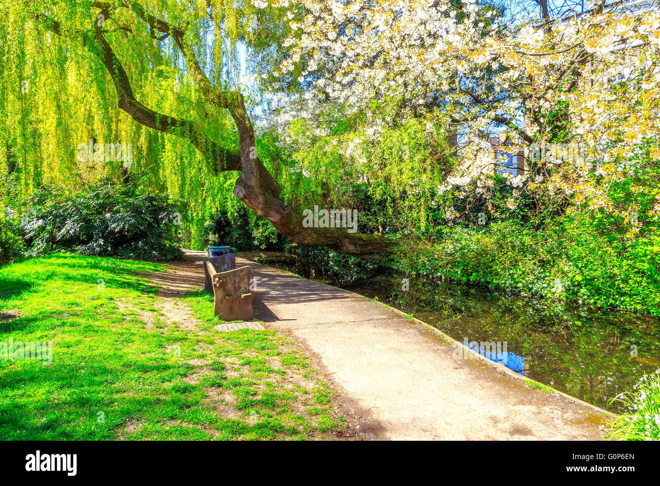 A weeping willow tree, white cherry blossom, a path and canal waterway in sunlight at the New River Walk, Canonbury, - Stock Image