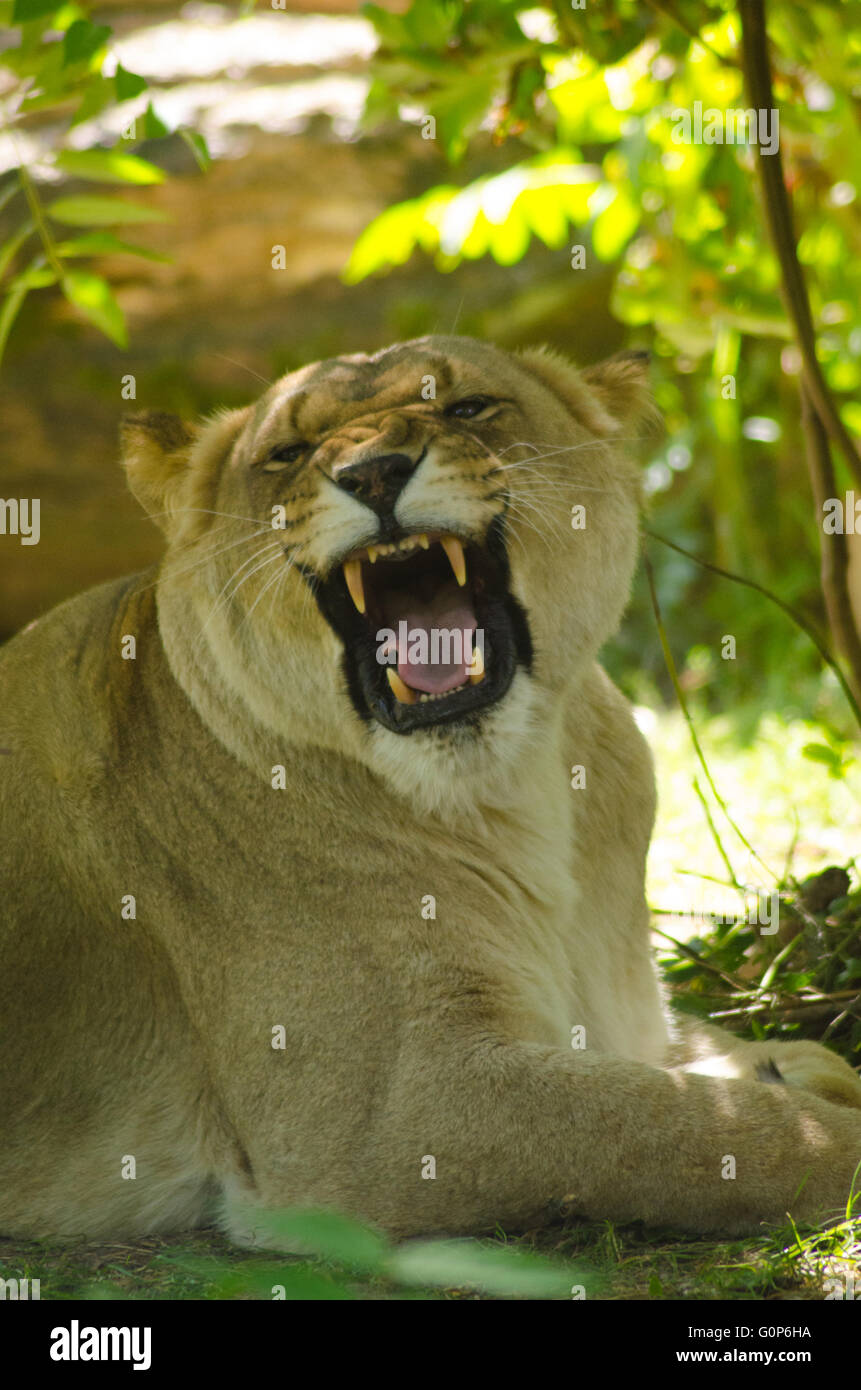 Lioness baring her teeth Stock Photo