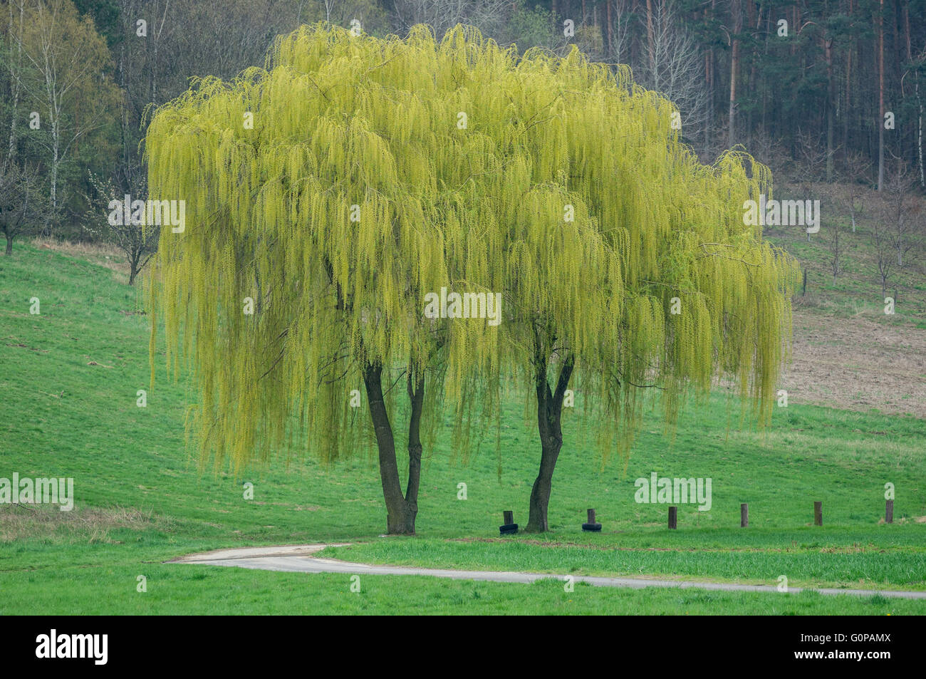 Two budding weeping willows in the spring willow - Stock Image