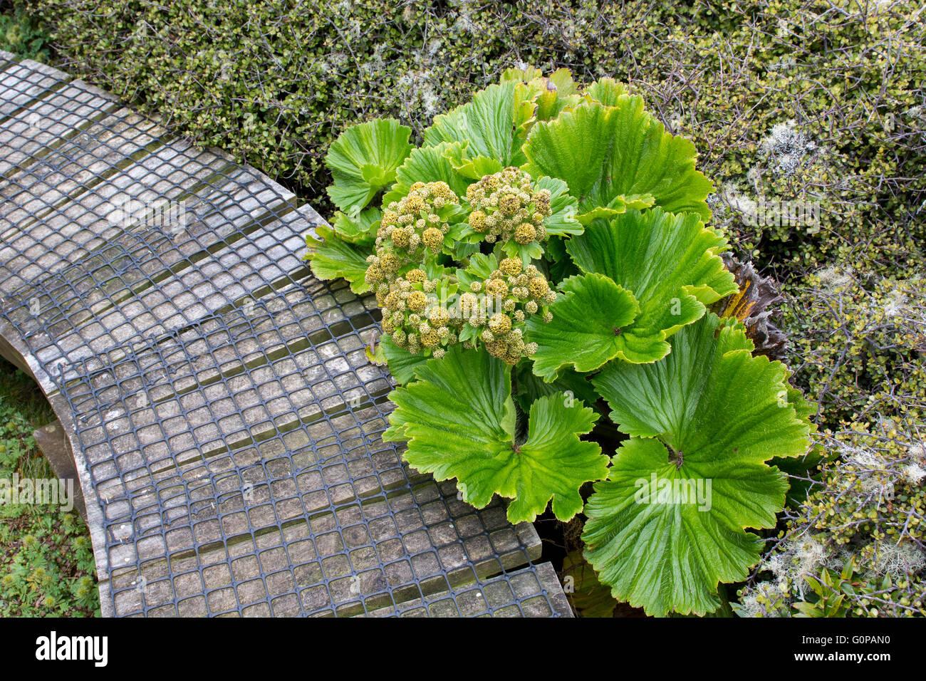 New Zealand, Auckland Islands, Enderby Island. Endemic megaherb, Stilbocarpa polaris. Stock Photo
