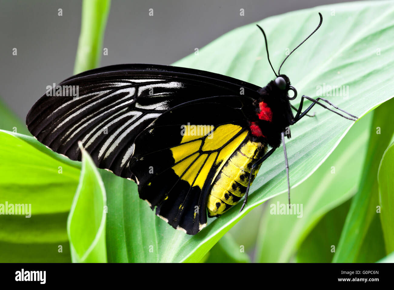 Black and yellow butterfly - Stock Image
