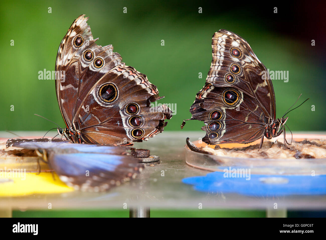 Two Blue Morphus butterfly Stock Photo