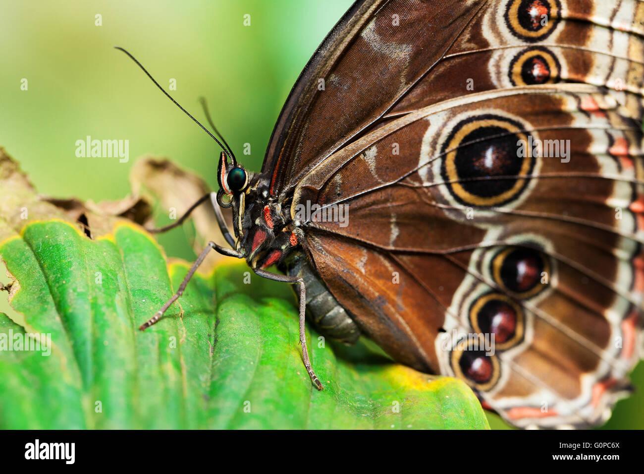 Blue Morphus butterfly - Stock Image