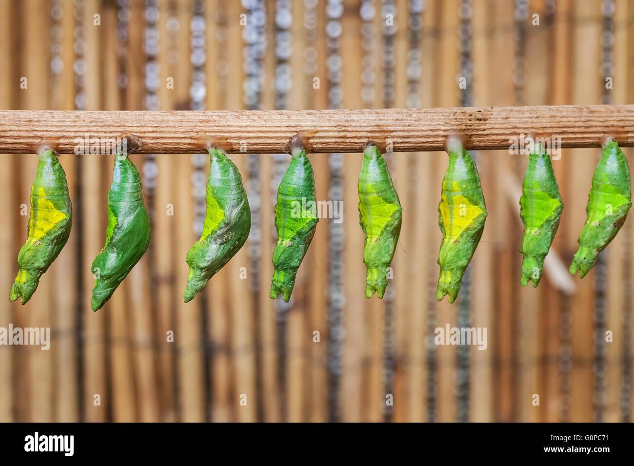 Monacrch batterfly chrysalis - Stock Image
