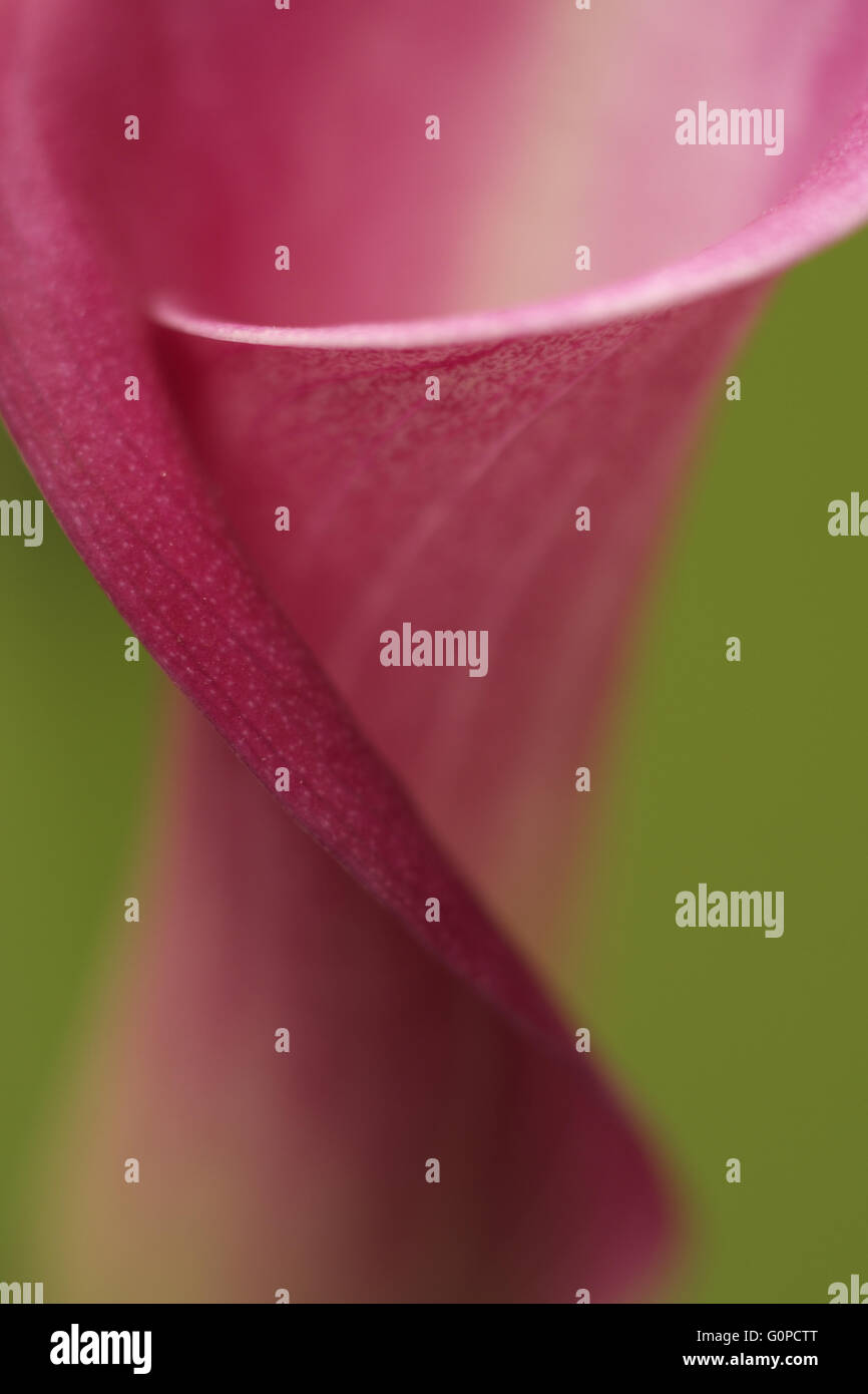 A close-up of a pink Calla lily Zantedeschia houseplant ... on