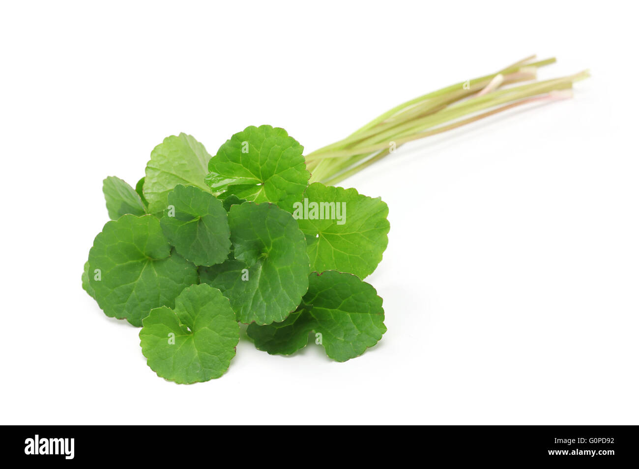 gotu kola, asiatic pennywort, centella asiatica, ayurveda herbal medicine - Stock Image