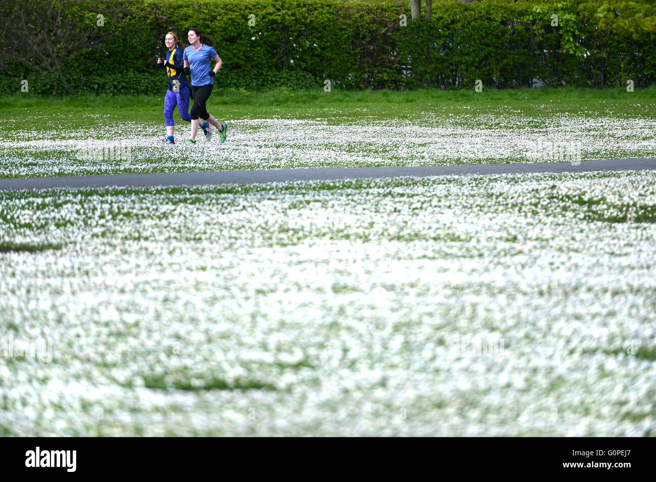 Regents Park, London, UK. 2-May-2016. Not snow but a blanket of daisies covers the ground in Regents Park. © Peter Stock Photo