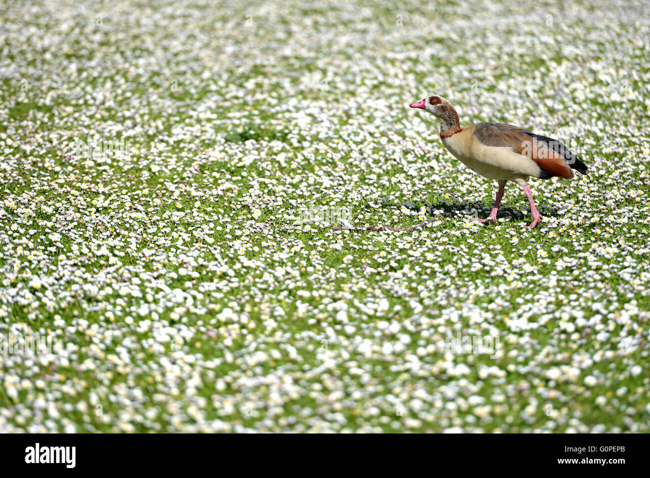 Regents Park, London, UK. 2-May-2016. Not snow but a blanket of daisies covers the ground in Regents Park. © Peter Stock Photo
