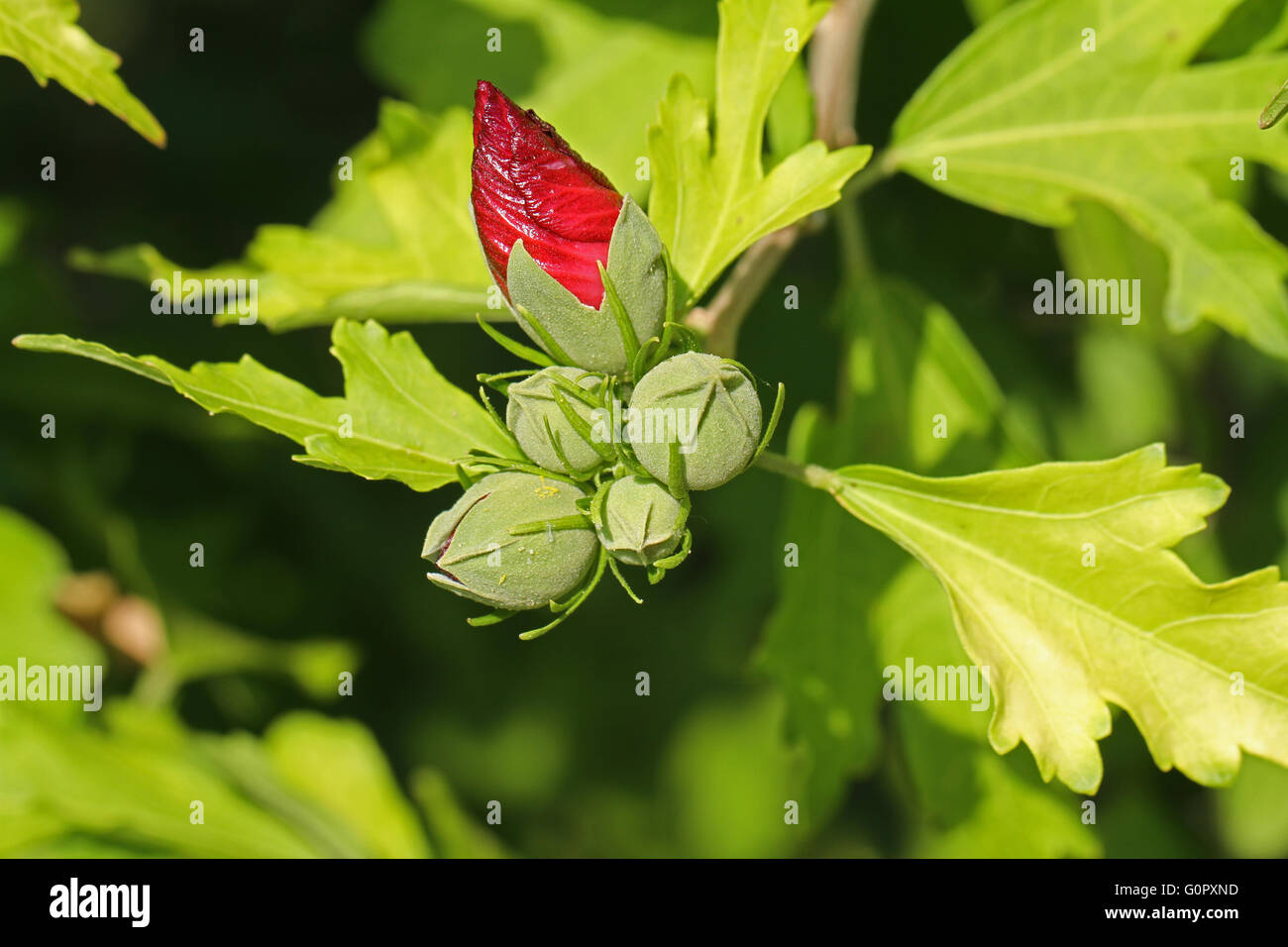 hibiscus, lavatera, malva alcea or mallow hibiscus bud about to flower in Italy in summer Stock Photo
