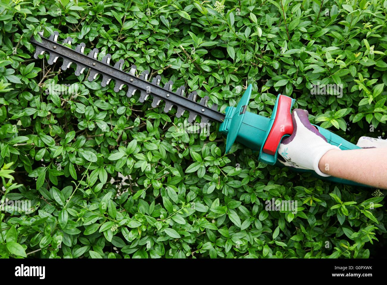 Trimming garden hedge with electrical hedge trimmer - Stock Image