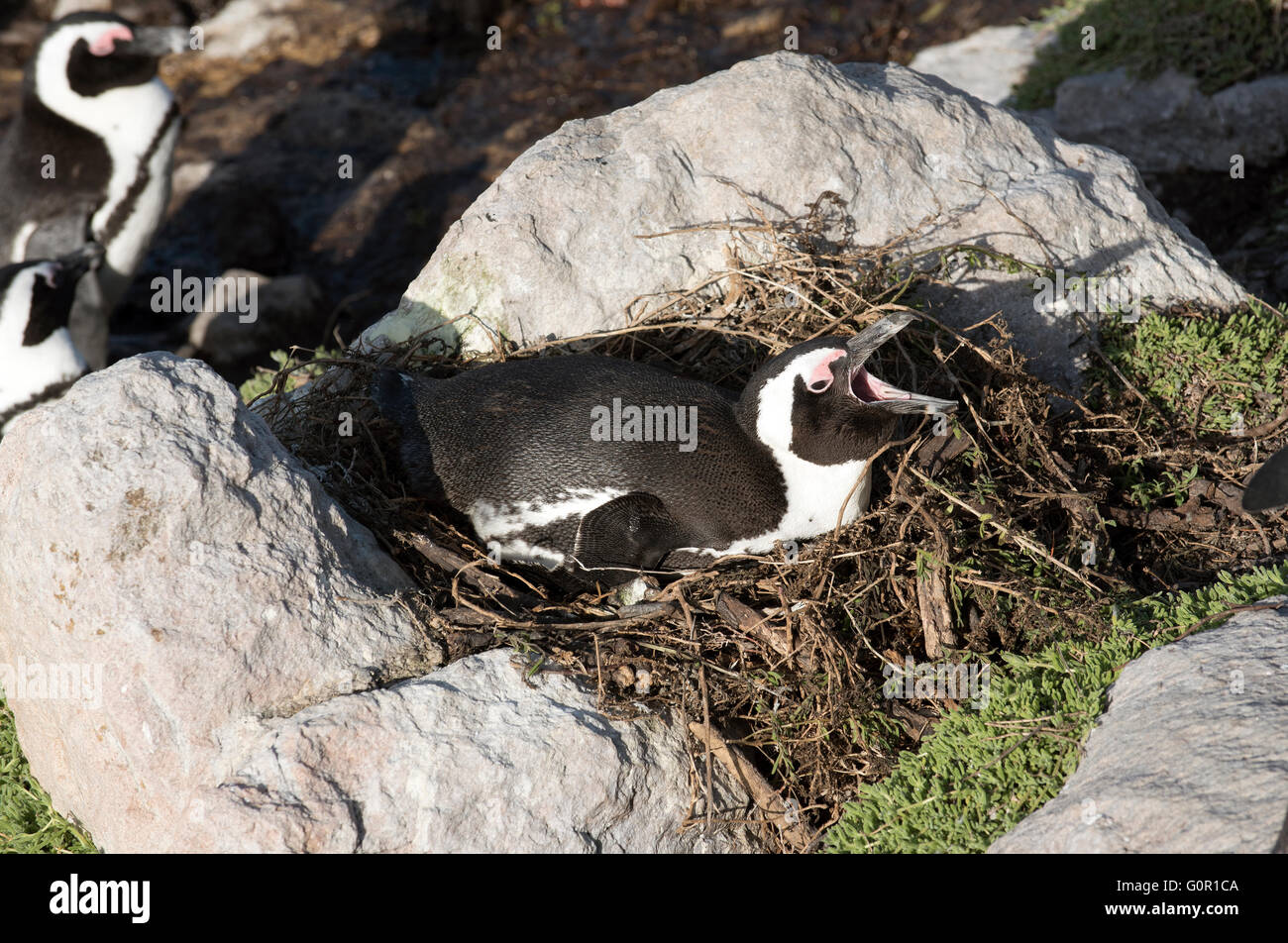 African penguin with beak open sitting on a nest at Betty's Bay in the Western Cape South Africa - Stock Image
