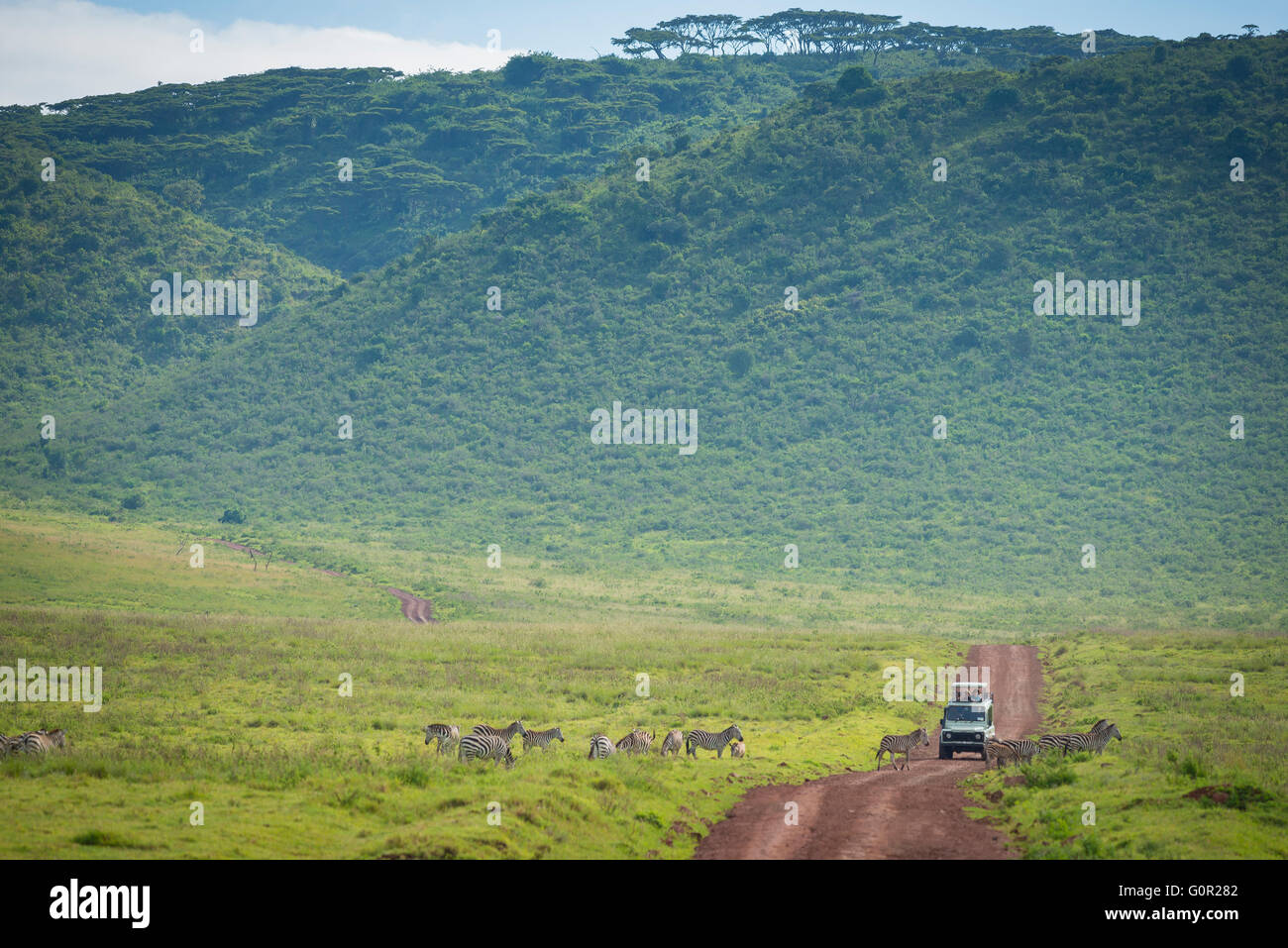 A tourist safari jeep travels along a dirt track amongst wild zebra in the Ngorongoro Crater, Tanzania, East Africa - Stock Image
