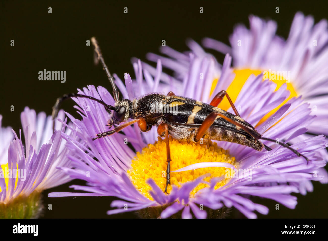An adult Zebra Longhorn (Typocerus zebra) beetle perches on a violet fleabane flower in search of nectar. - Stock Image