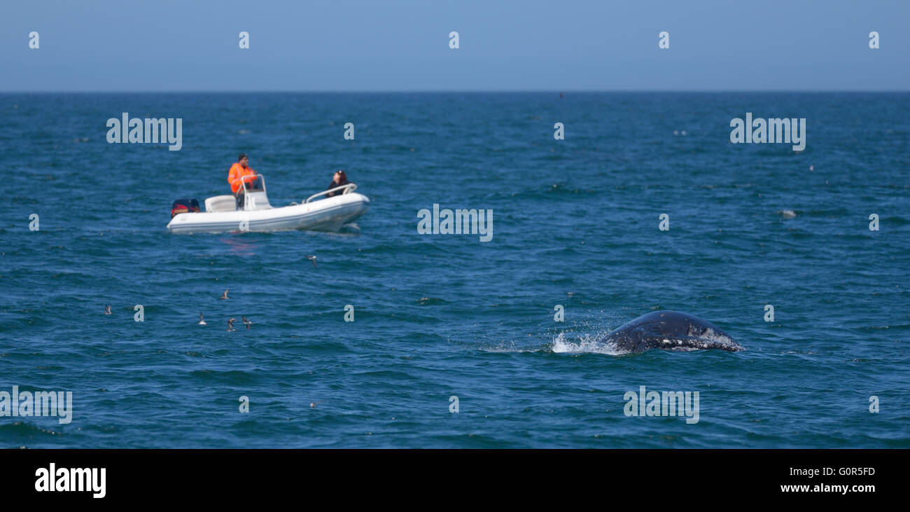 Whale Watching, Monterey Bay CA - Stock Image