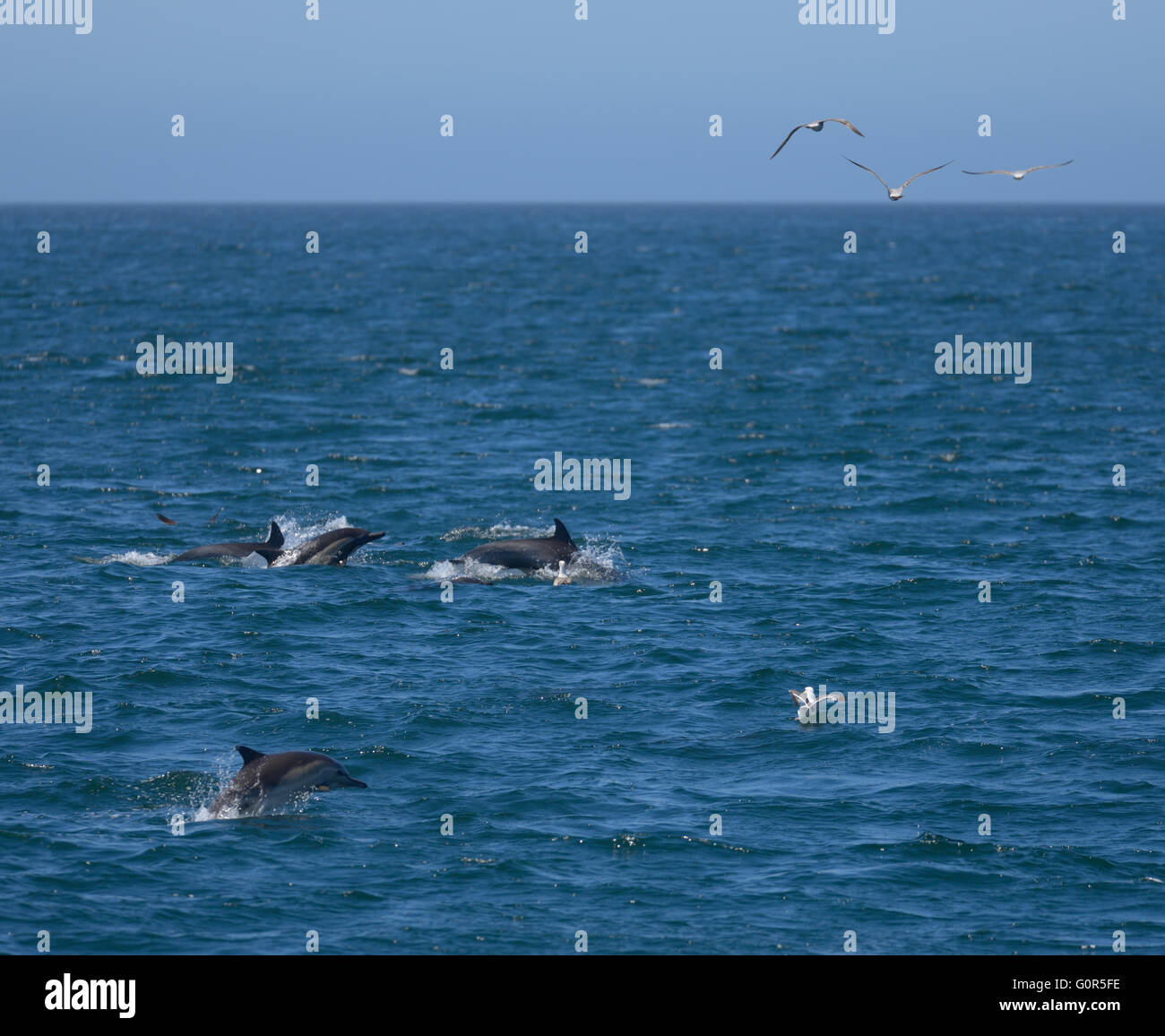 Wild Dolphins in Monterey Bay, CA - Stock Image