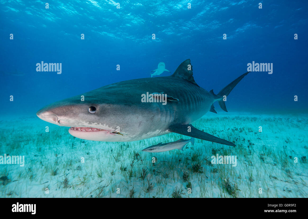 Tiger shark swimming in the Bahamas - Stock Image