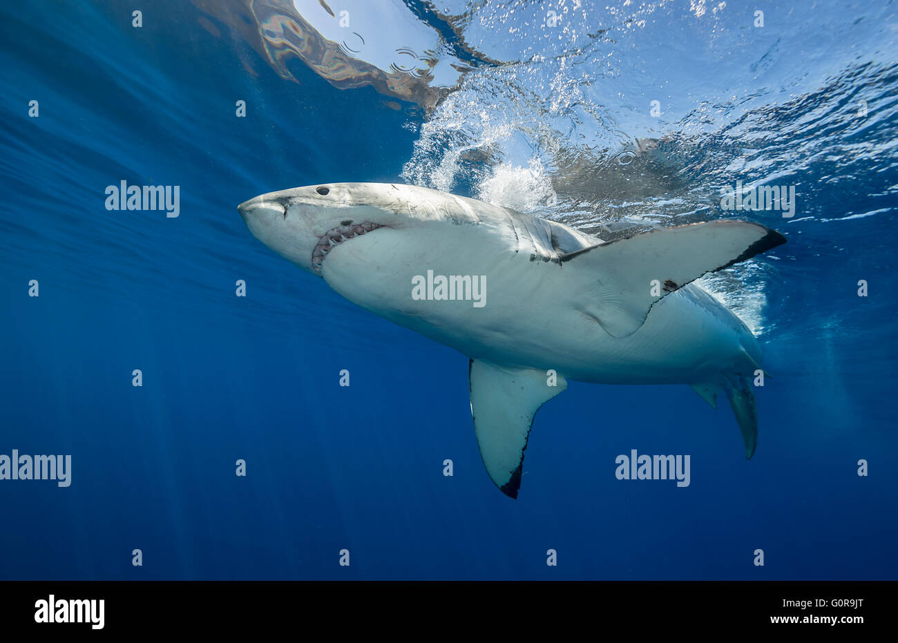 Great white shark underwater at Guadalupe Island, Mexico Stock Photo
