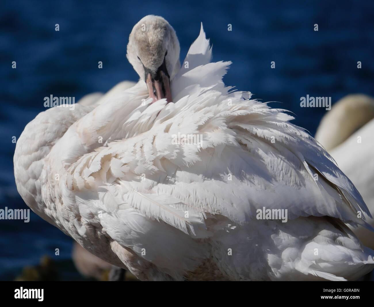 Swan preening on Southport Marine Lake - Stock Image