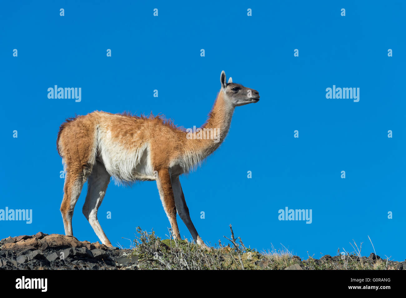 Guanaco (Lama guanicoe) on a ridge, Torres del Paine National Park, Chilean Patagonia, Chile Stock Photo