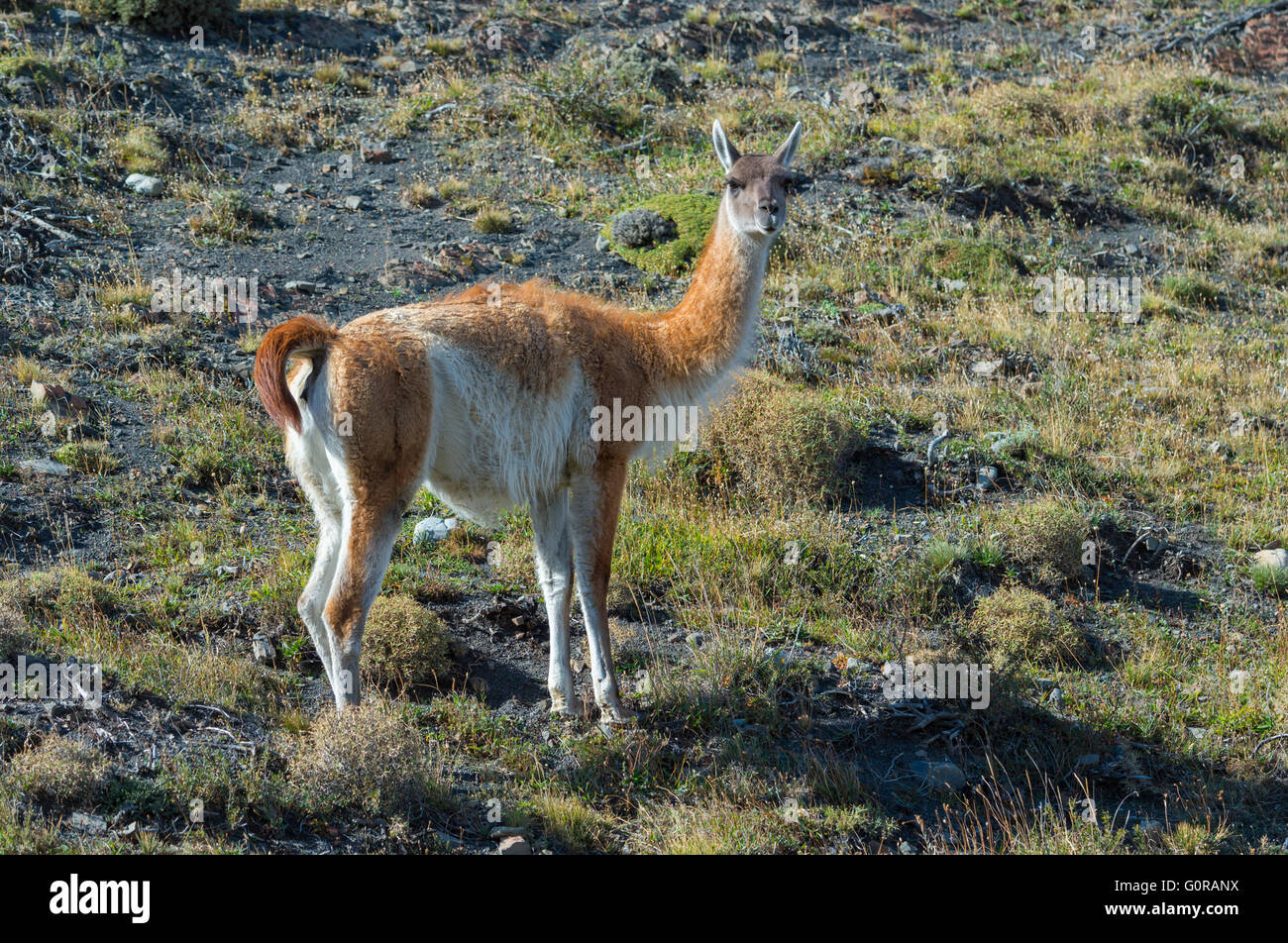 Guanaco (Lama guanicoe), Torres del Paine National Park, Chilean Patagonia, Chile - Stock Image