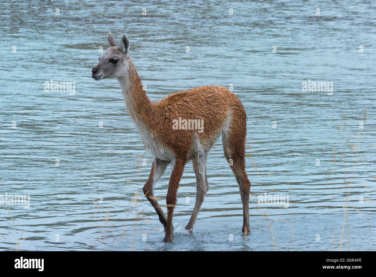 Guanaco (Lama guanicoe) crossing a river, Torres del Paine National Park, Chilean Patagonia, Chile - Stock Image