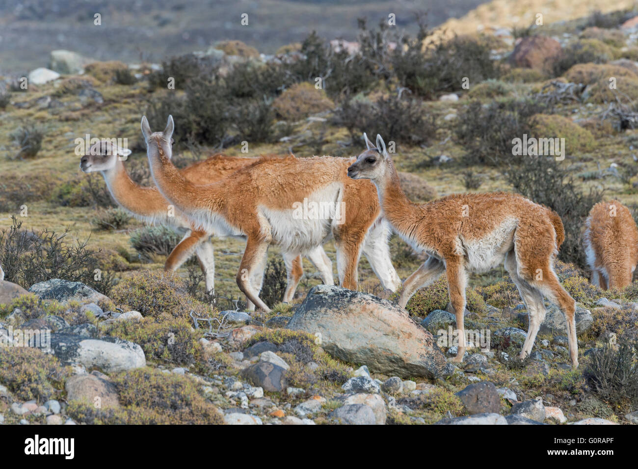 Group of Guanacos (Lama guanicoe) in the steppe, Torres del Paine National Park, Chilean Patagonia, Chile - Stock Image