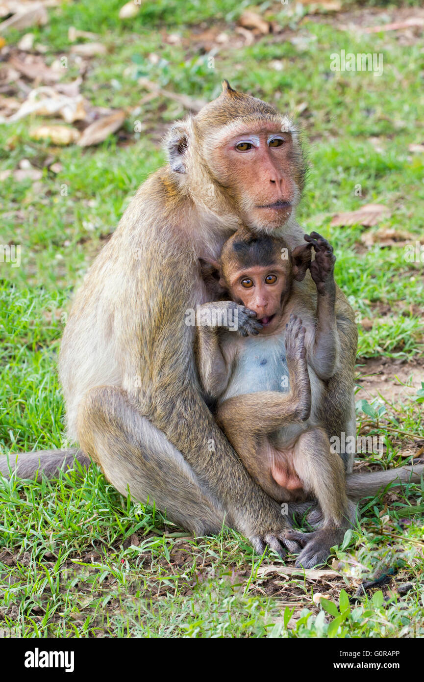 Long-tailed Macaque or Crab-eating Macaque (Macaca fascicularis), Mother and young, Thailand, Asia - Stock Image