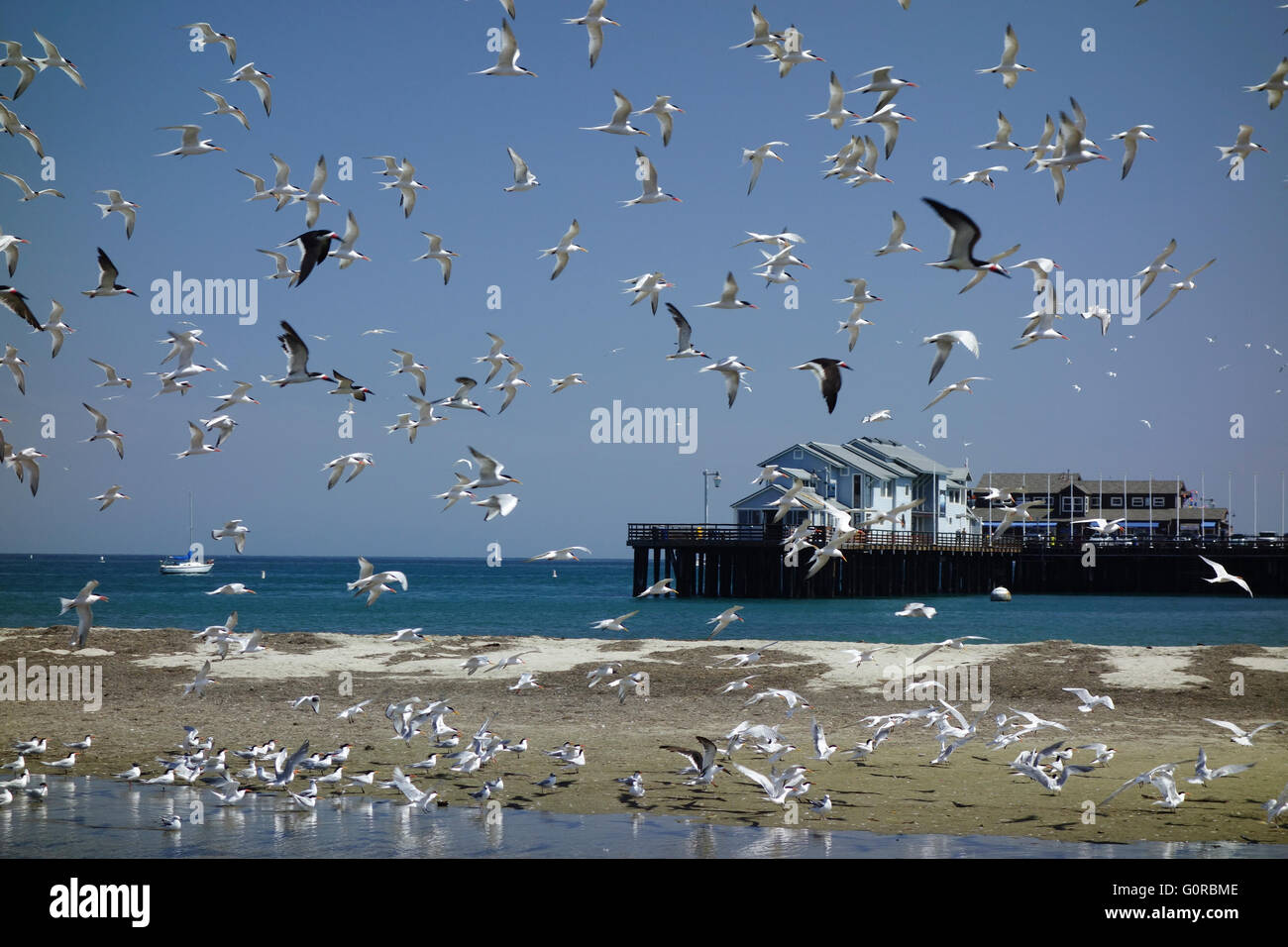 sea birds and gulls in flight near beach beside Stearns Wharf in Santa Barbara Southern California USA - Stock Image