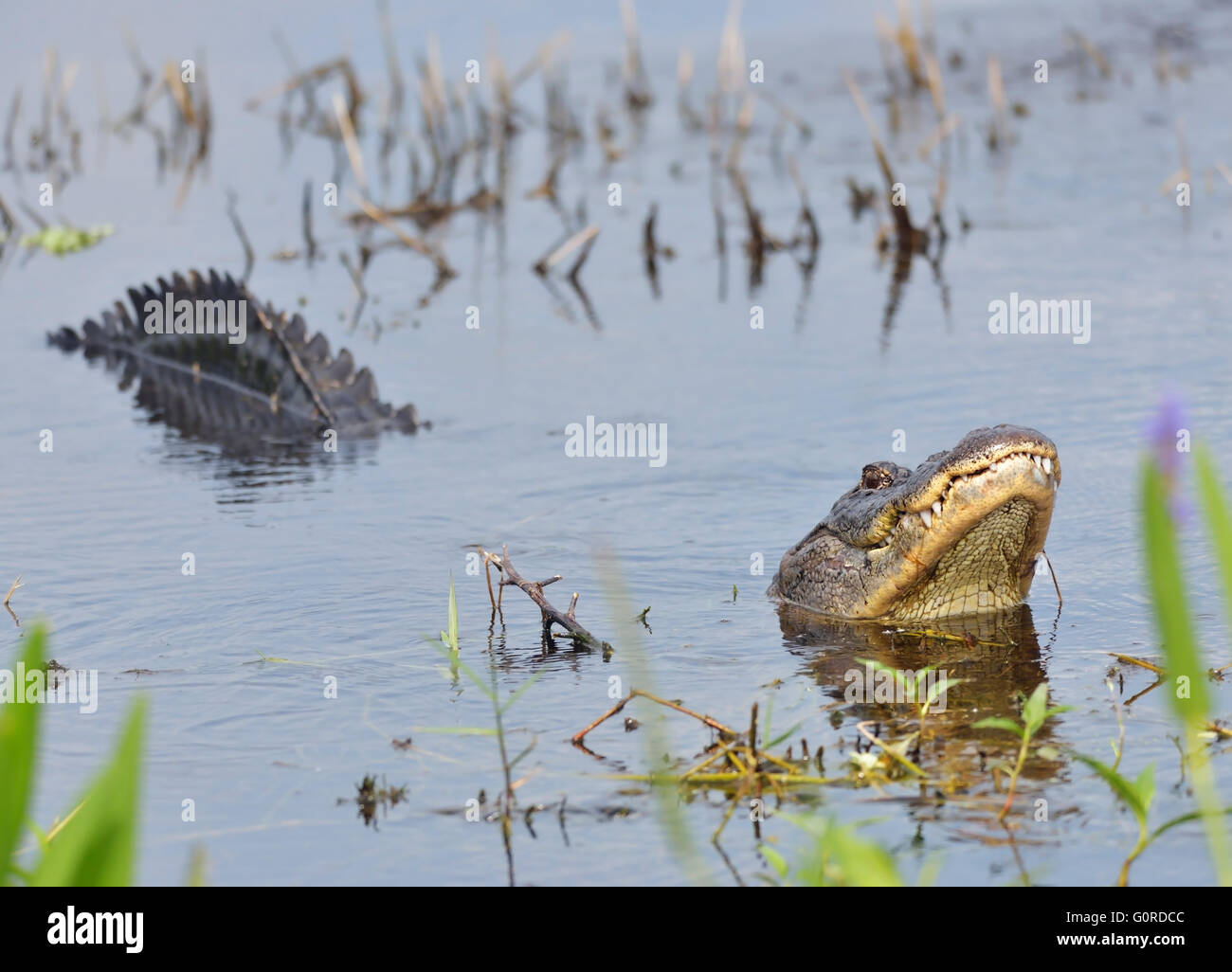 Large Bull Male Alligator Calls for a Mate - Stock Image