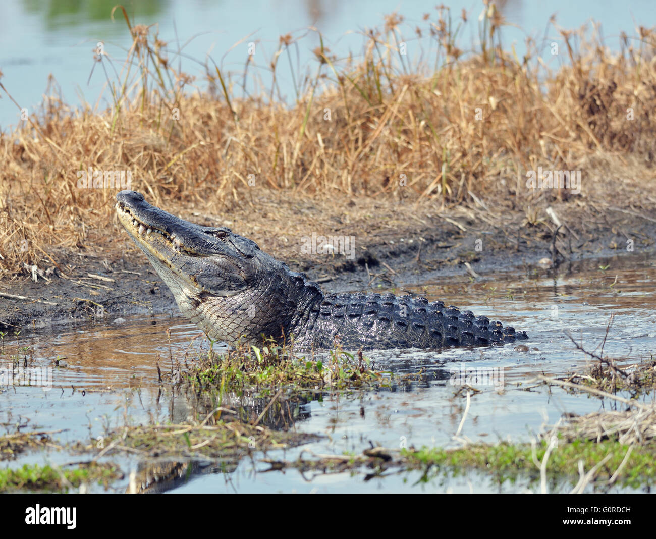 Large Bull Male Alligator Calls for a Mate in Florida Swamp - Stock Image