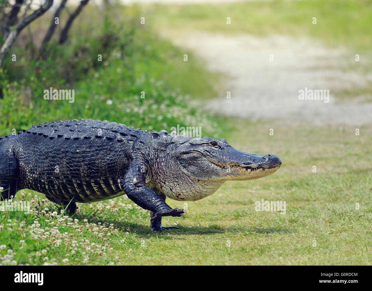 Large Florida Alligator Walking on a Trail Stock Photo