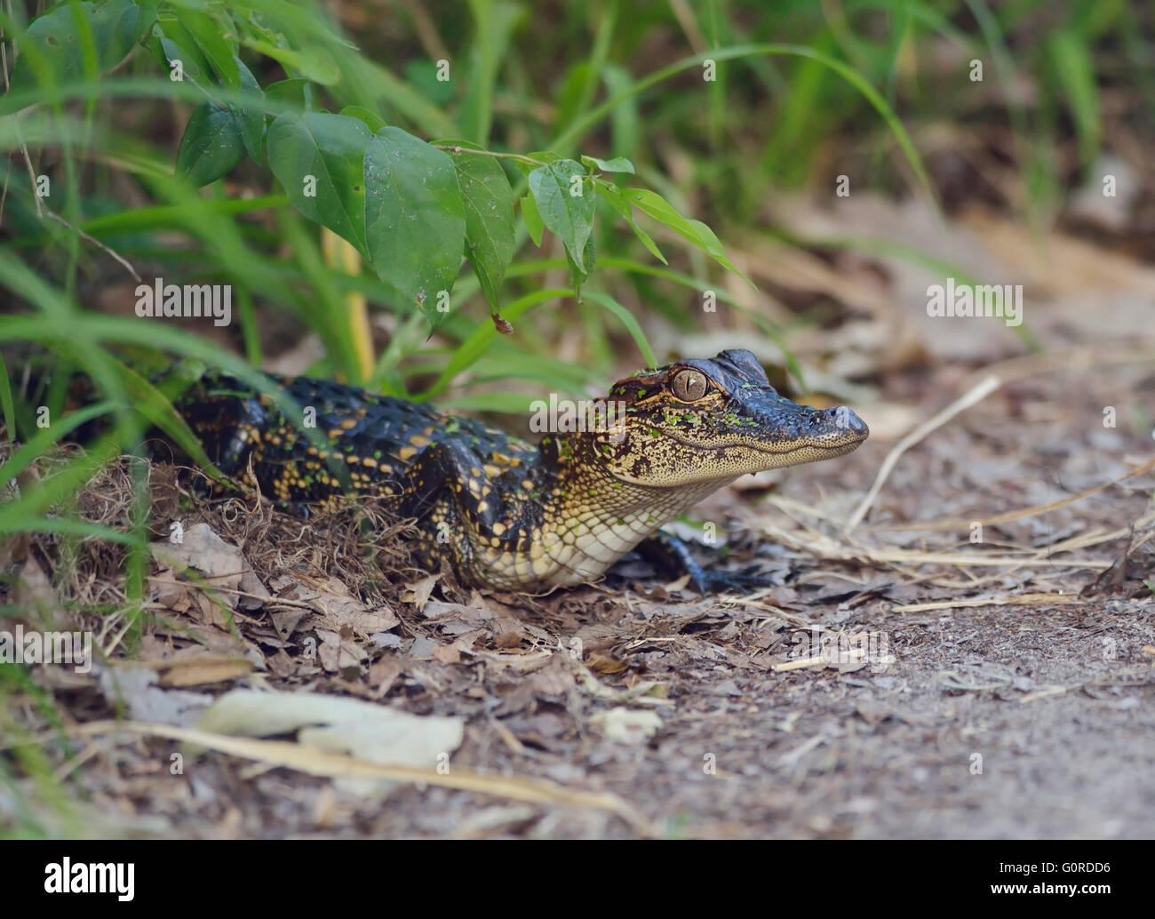 Small Florida Alligator on a Path - Stock Image