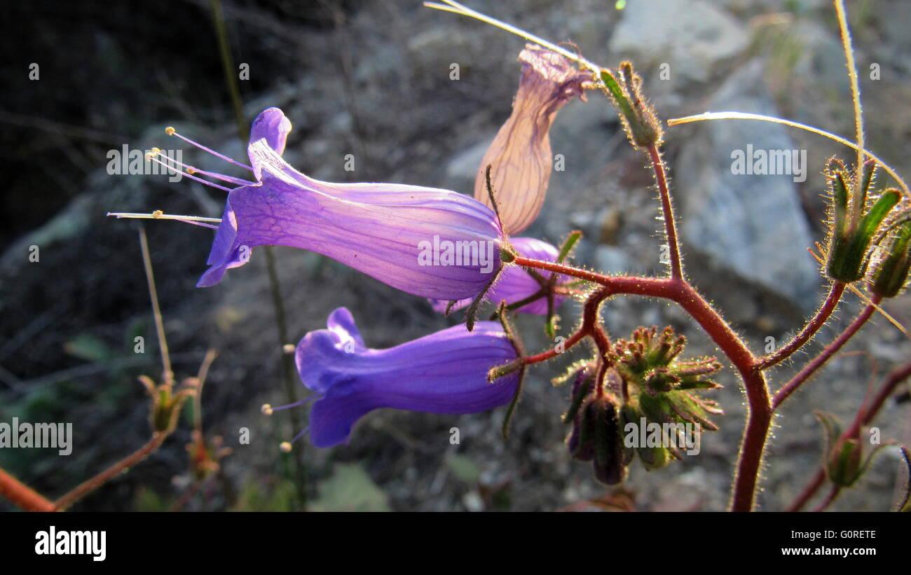 Exquisite Purple flower with petals sunlit showing veins - Stock Image