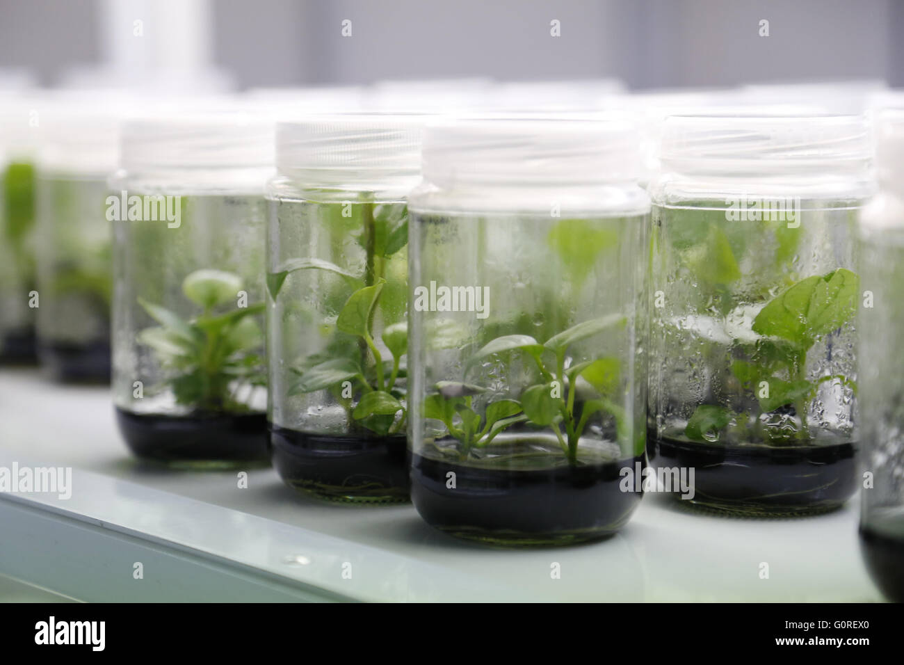 Experimental plants in glass jars in the lab. Growing plant specimens in the lab in sealed beakers for tests and - Stock Image