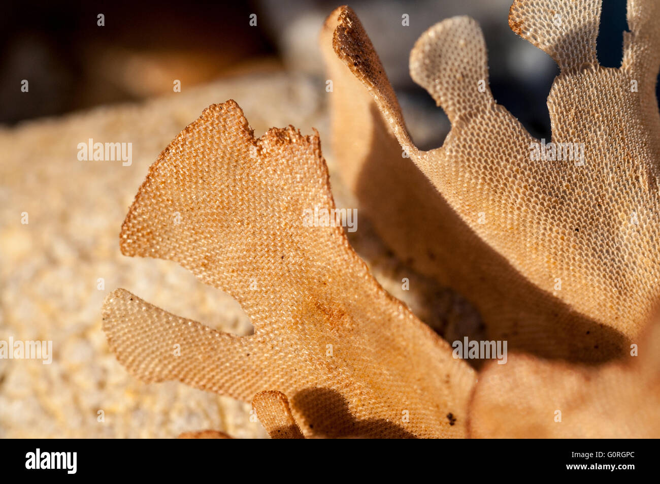 A piece of dried Hornwrack, a common sight on Sussex beaches Stock Photo