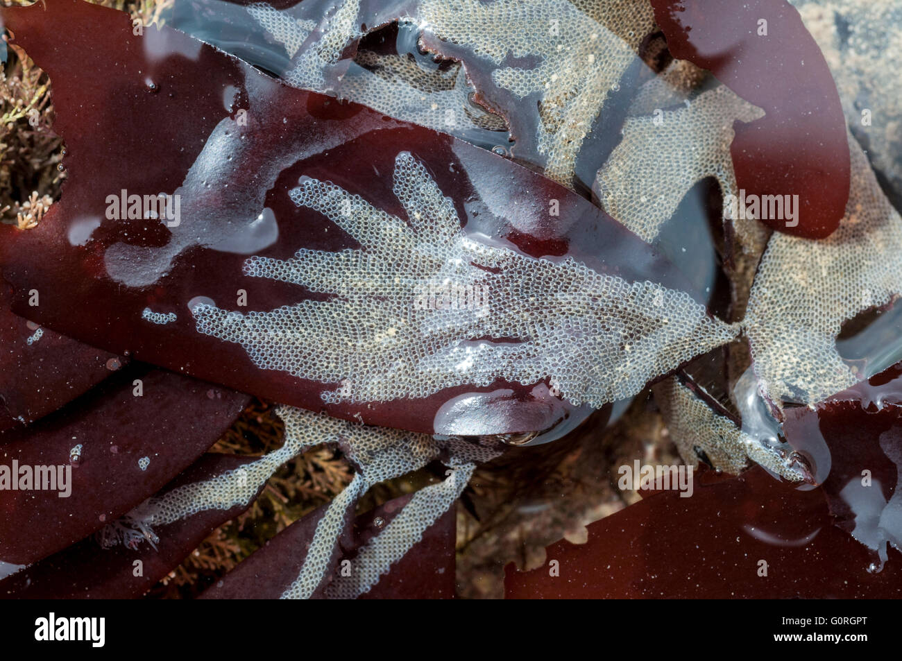 The common colonial Bryozoan Hairy Sea-mat on a red seaweed Stock Photo