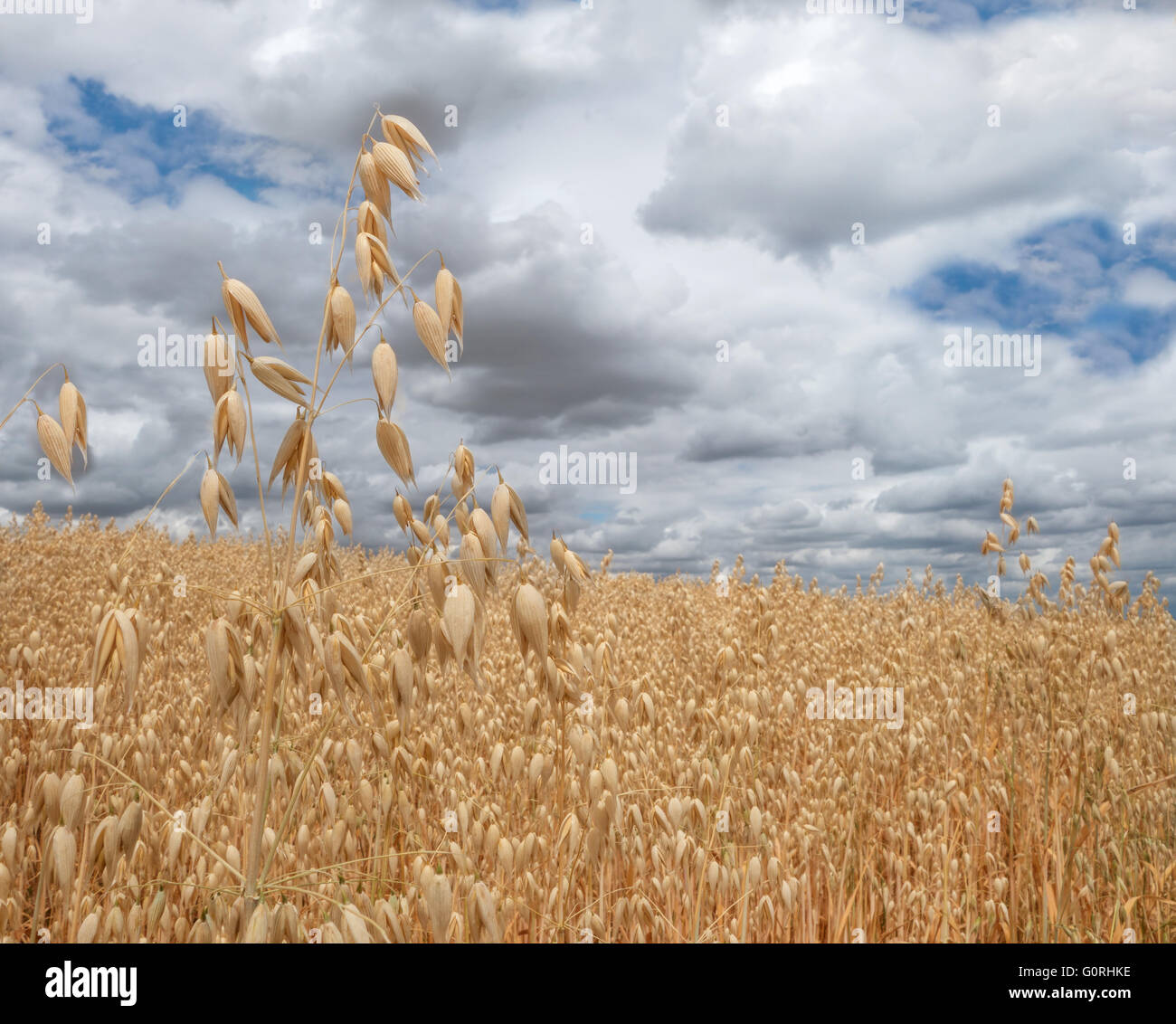 Ripe oat in close-up - Stock Image