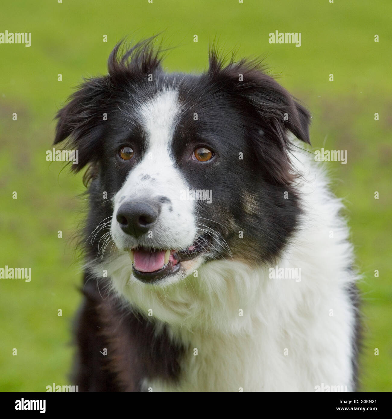 border collie head - Stock Image