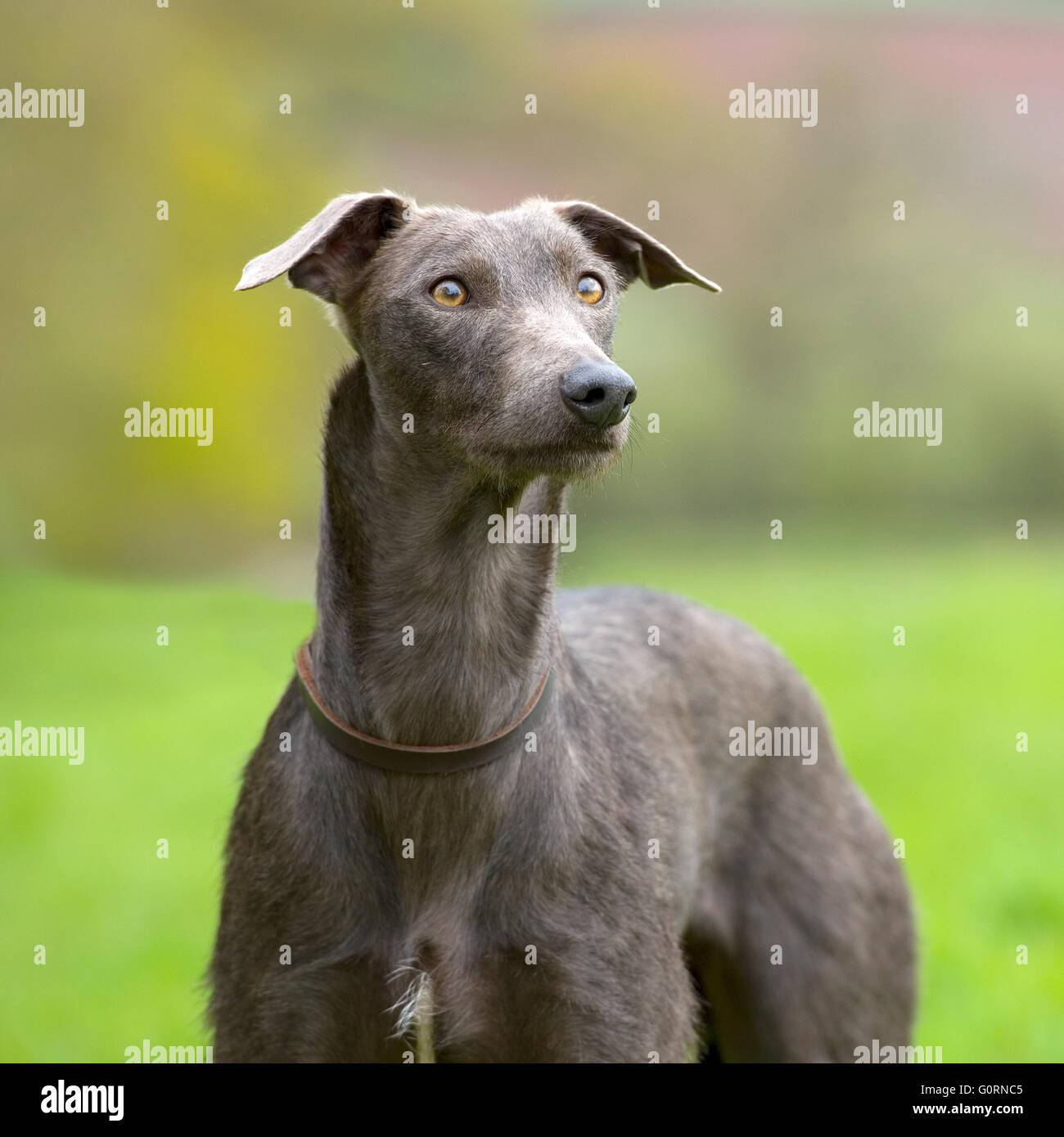 lurcher dog - Stock Image
