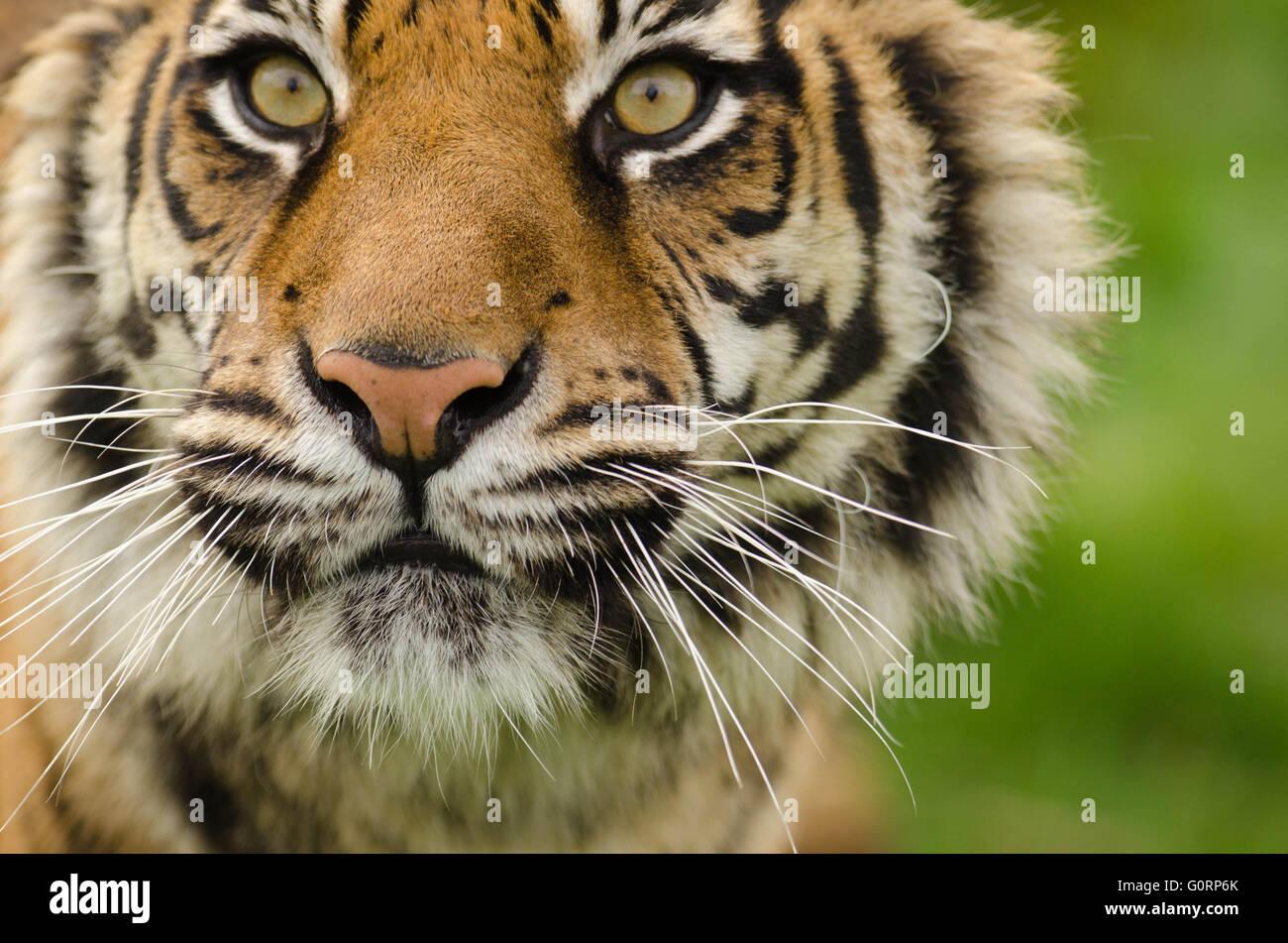 Sumatran Tiger (Panthera tigris sumatrae) taken under controlled conditions at Wildlife Heritage Foundation Smarden - Stock Image