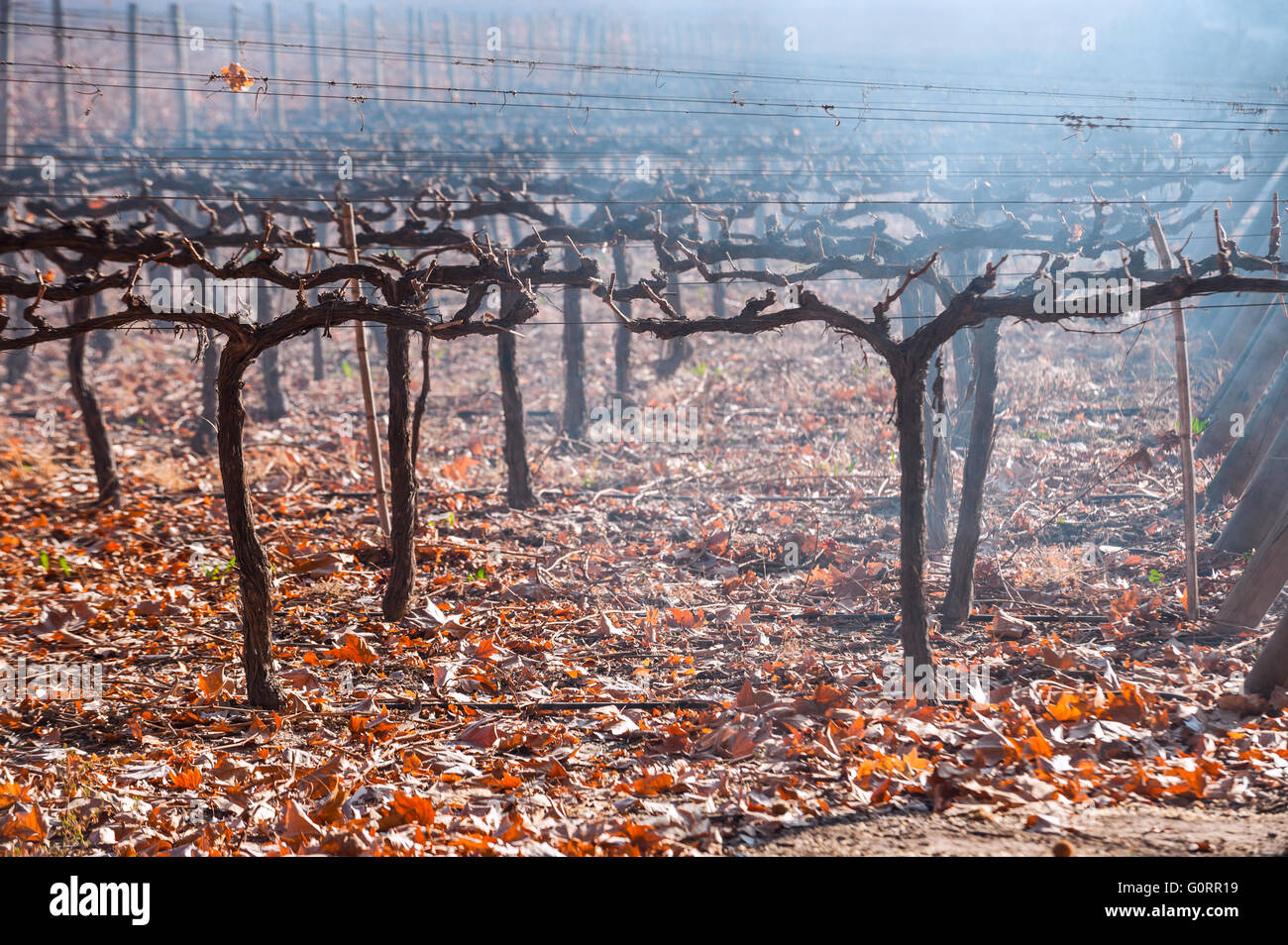 Autumn Vineyard. Mendoza in late autumn, when grapes harvested - Stock Image