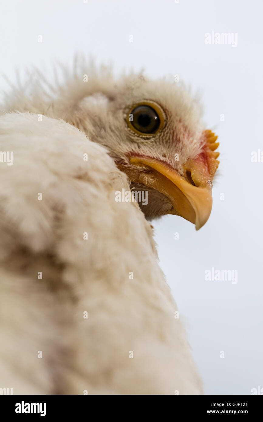 thoughtful chicken, - Stock Image