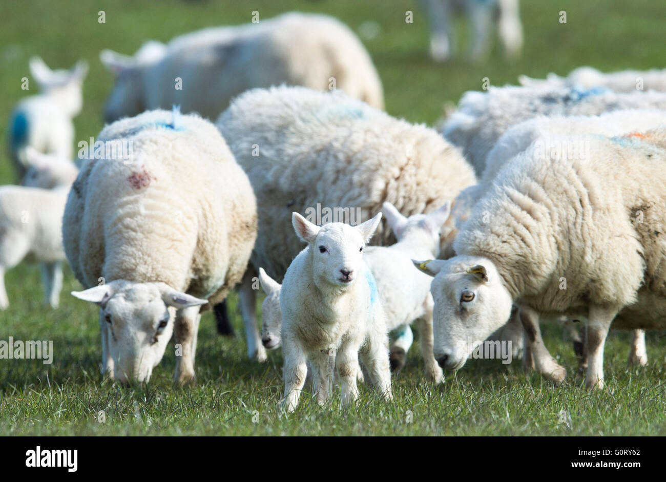 27/04/2016, Ewes and lambs grazing in a field at Kirkhill farm, Caithness, Scotland. - Stock Image