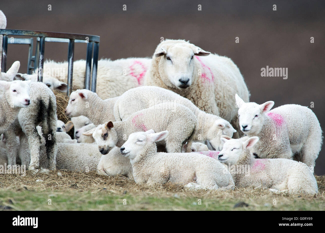 27/04/2016, Ewes and lambs huddle together to keep warm at Framside farm, Caithness, Scotland. - Stock Image