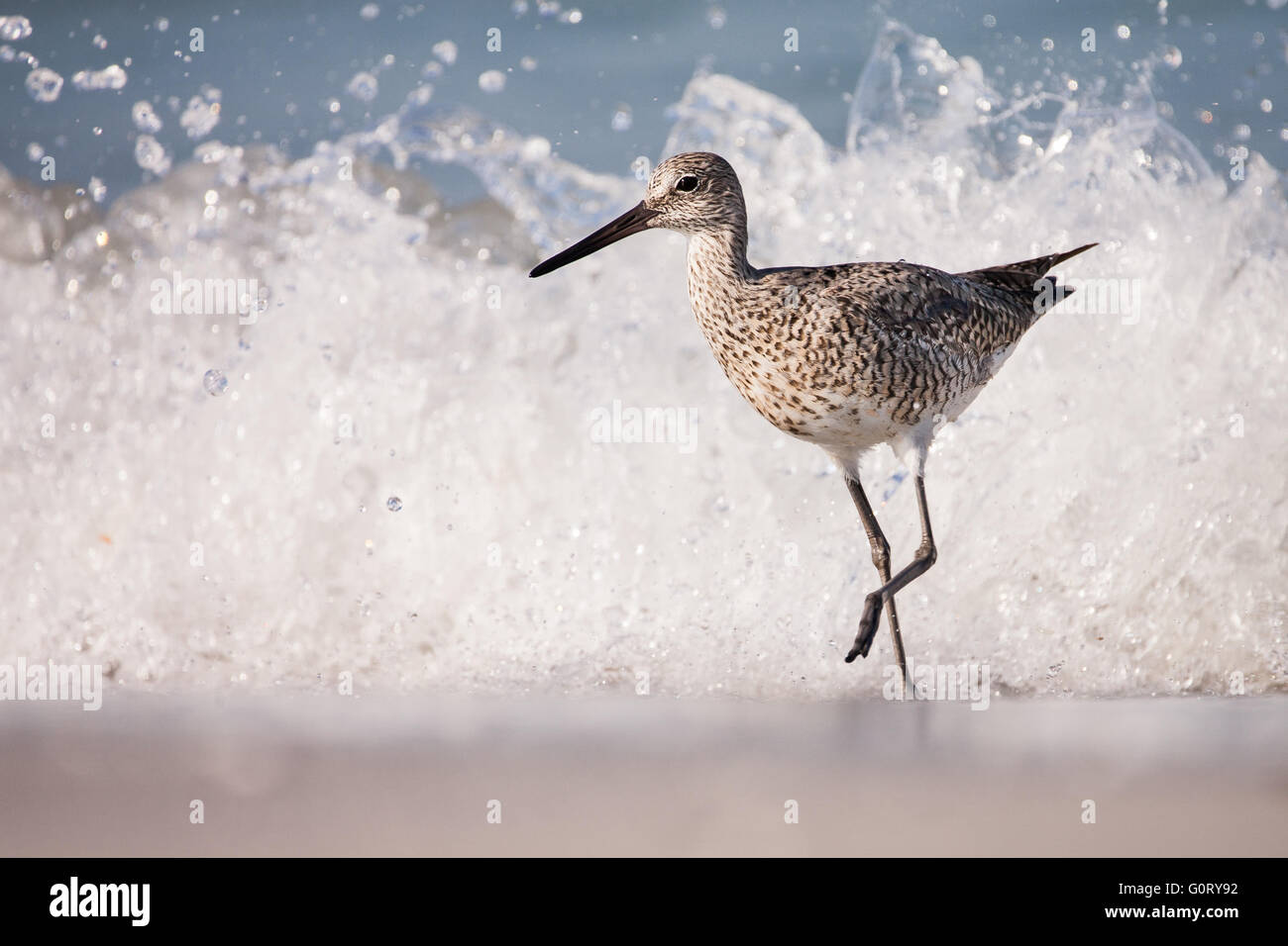 This willet is running from a wave. - Stock Image