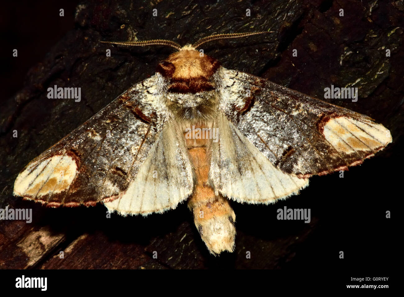 Buff-tip moth (Phalera bucephala) with wings open. British nocturnal insect in the family Notodontidae, with hind - Stock Image