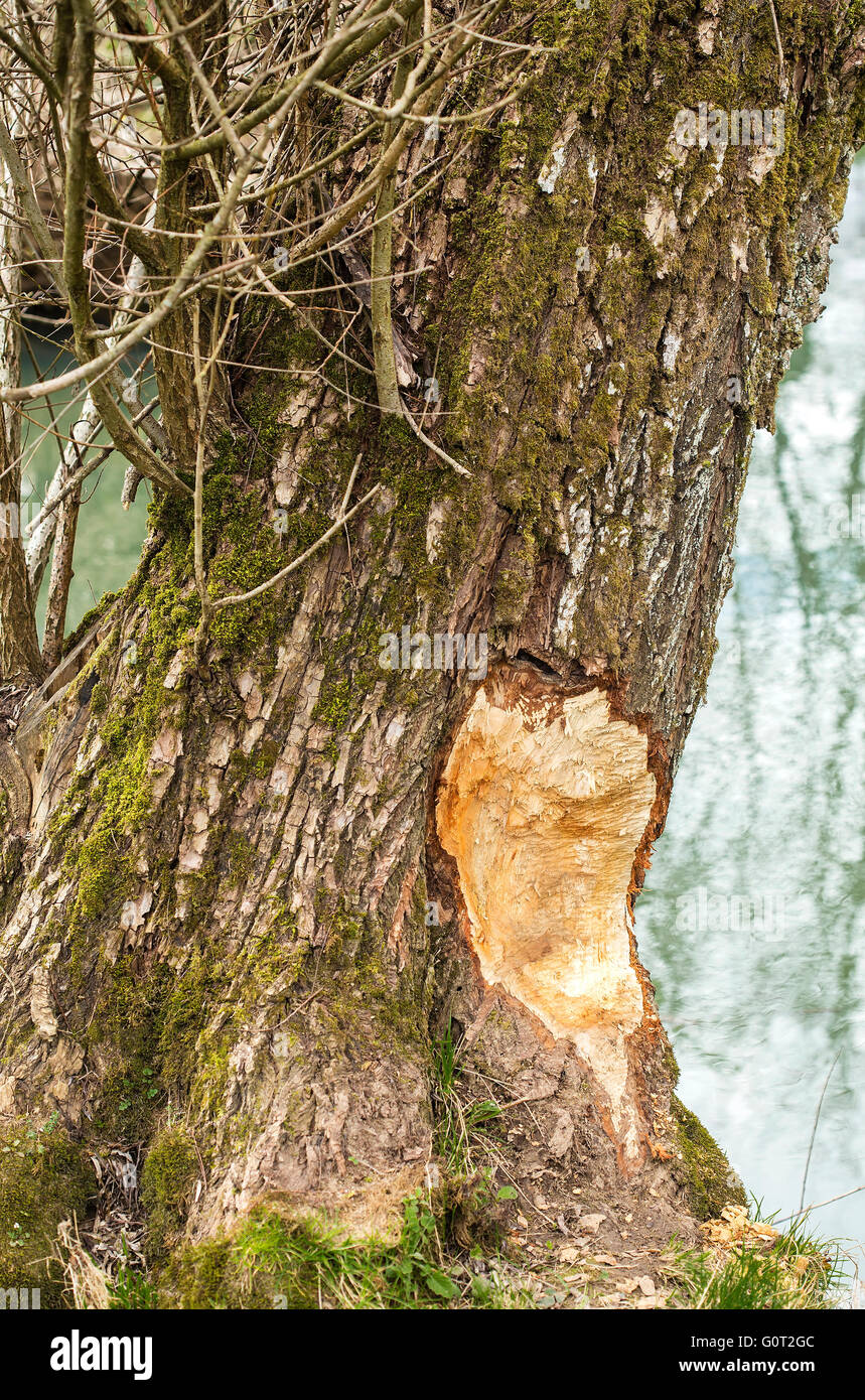Damaged tree by a beaver. - Stock Image