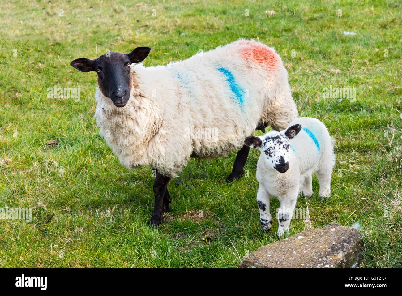 Ewe with lamb, Co. Antrim, Northern Ireland. - Stock Image