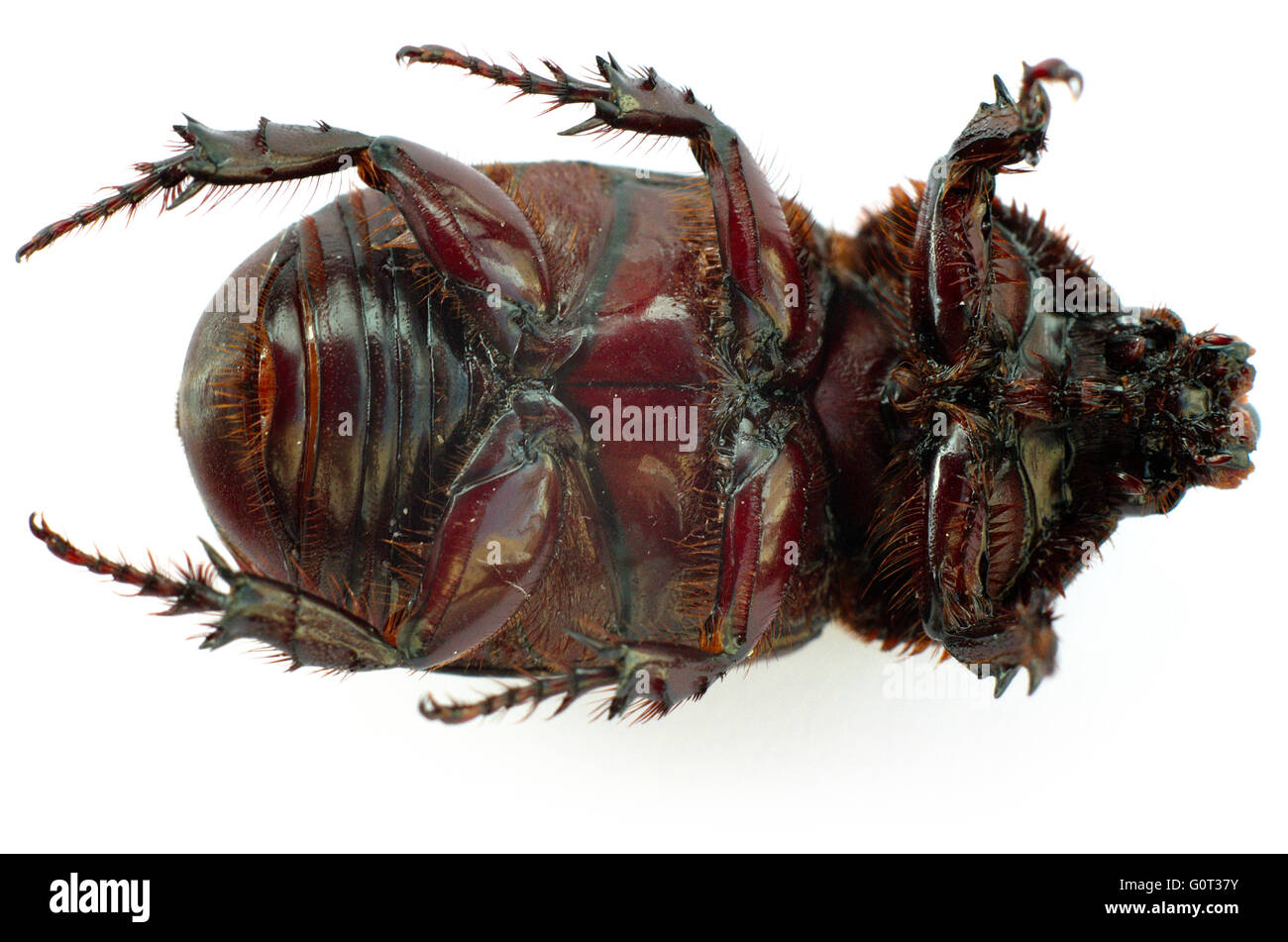 The underside of an Asiatic Rhinoceros beetle (Coconut beetle) on white background. Stock Photo